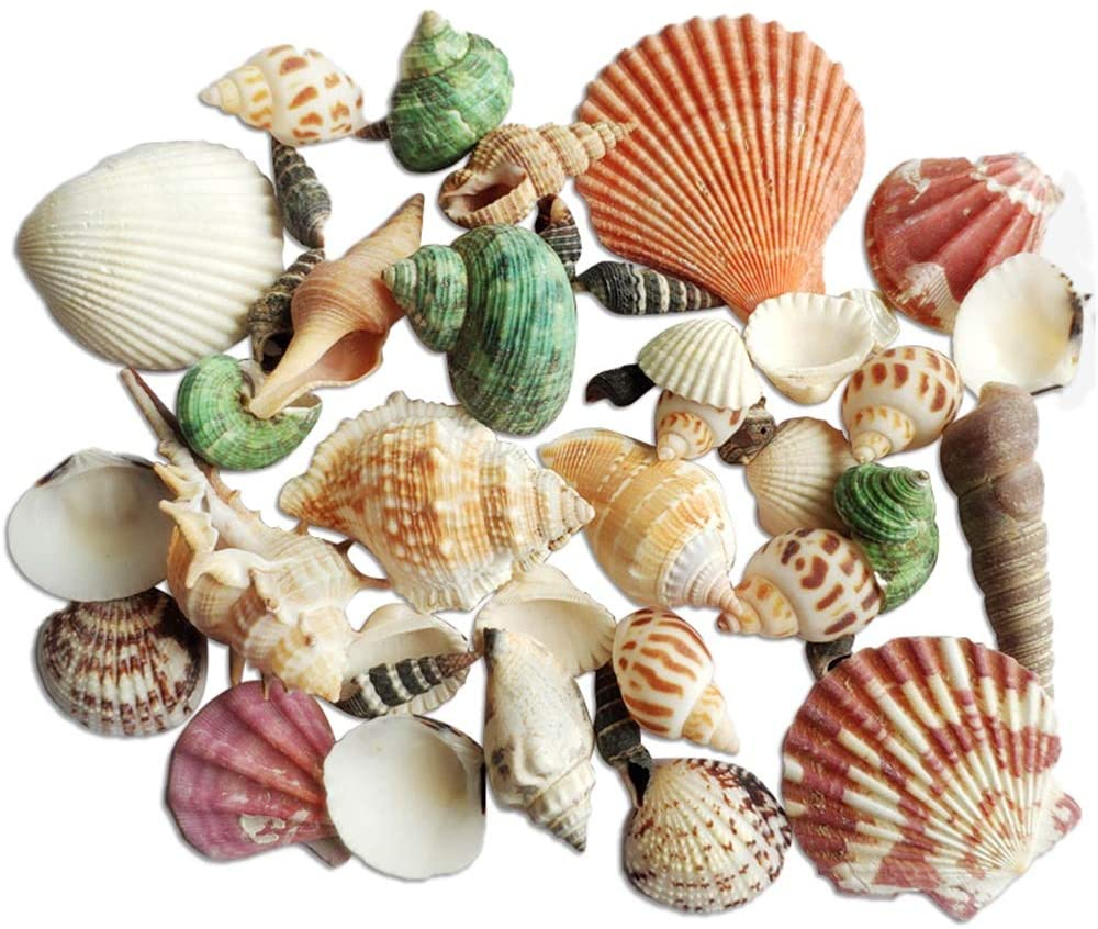 Sea Shells for Decorating Crafting Mixed Beach Natural Seashells for DIY Crafts Home Decorations Beach Theme Party Wedding Conch Shells